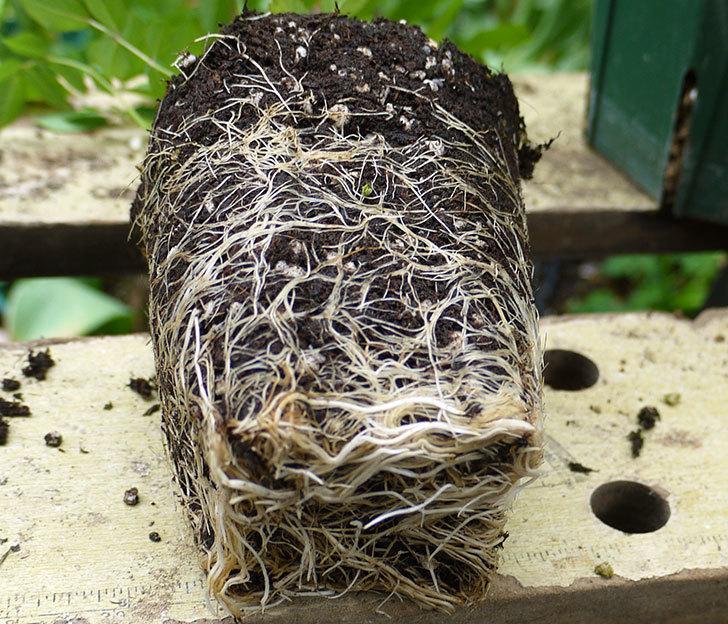 コーネリア(ツルバラ)の新苗を6号ロングスリット鉢に植えた。2016年-4.jpg