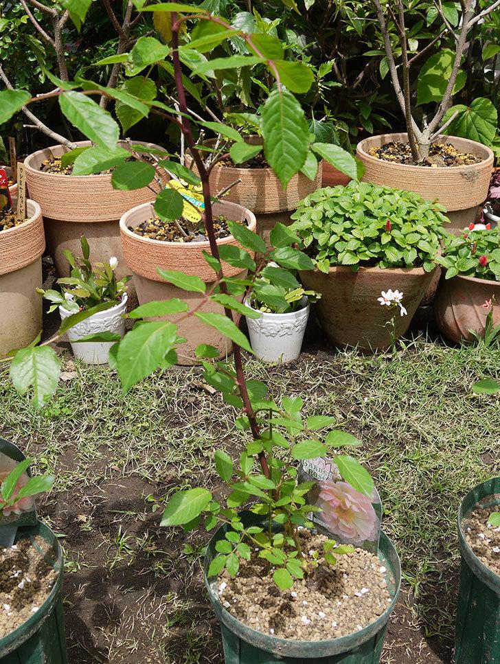 コーネリア(ツルバラ)の新苗を6号ロングスリット鉢に植えた。2016年-5.jpg
