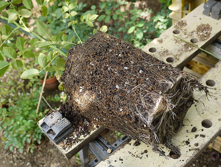 コーネリア(ツルバラ)の新苗を8号のEUロングスリット鉢に鉢増しした。2016年-1.jpg