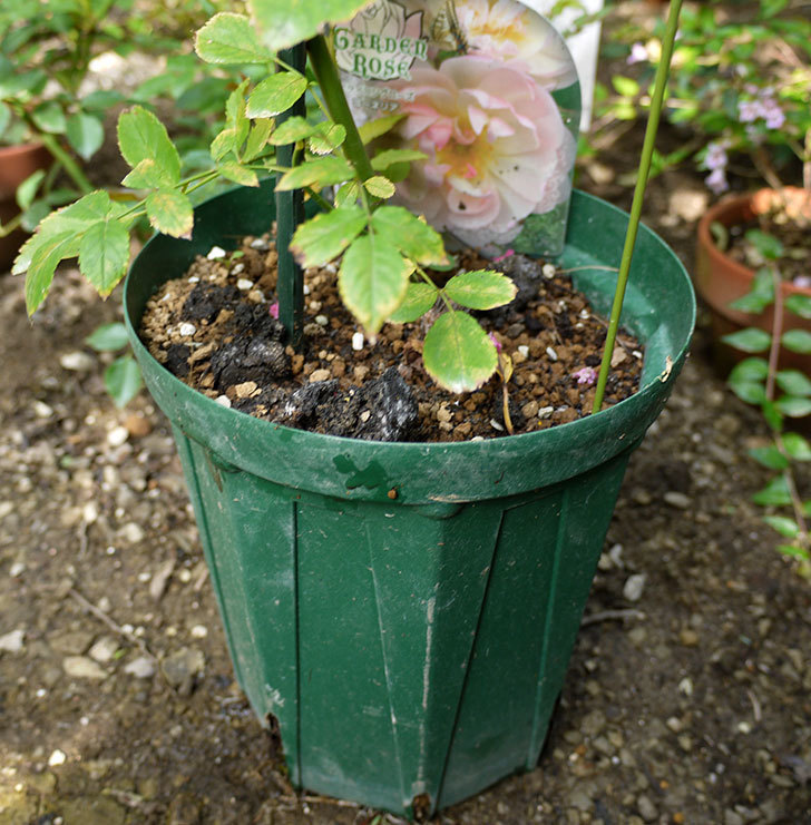 コーネリア(ツルバラ)の新苗を8号のEUロングスリット鉢に鉢増しした。2016年-2.jpg