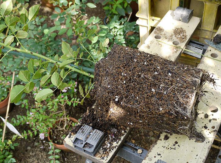 コーネリア(ツルバラ)の新苗を8号のEUロングスリット鉢に鉢増しした。2016年-4.jpg