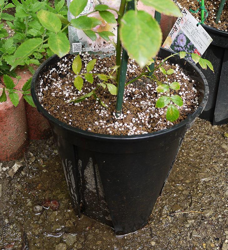 コーネリア(ツルバラ)の新苗を8号のEUロングスリット鉢に鉢増しした。2016年-8.jpg