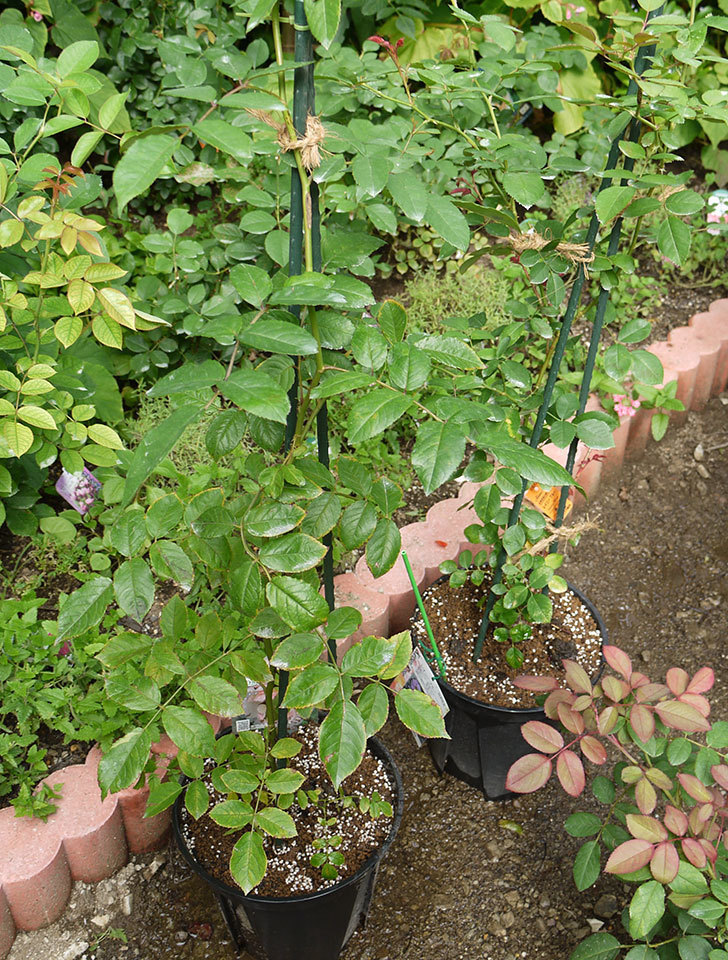 コーネリア(ツルバラ)の新苗を8号のEUロングスリット鉢に鉢増しした。2016年-9.jpg
