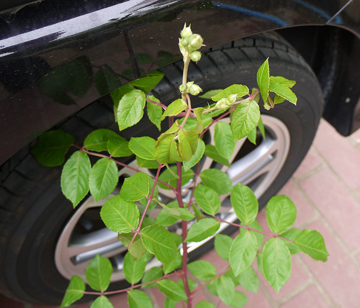 コーネリア(ツルバラ)の新苗買って来た。2016年-1.jpg