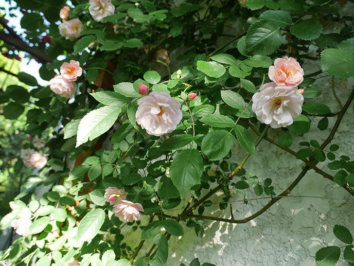 コーネリア(ツルバラ)の花がたくさん咲いた。2018年-1.jpg