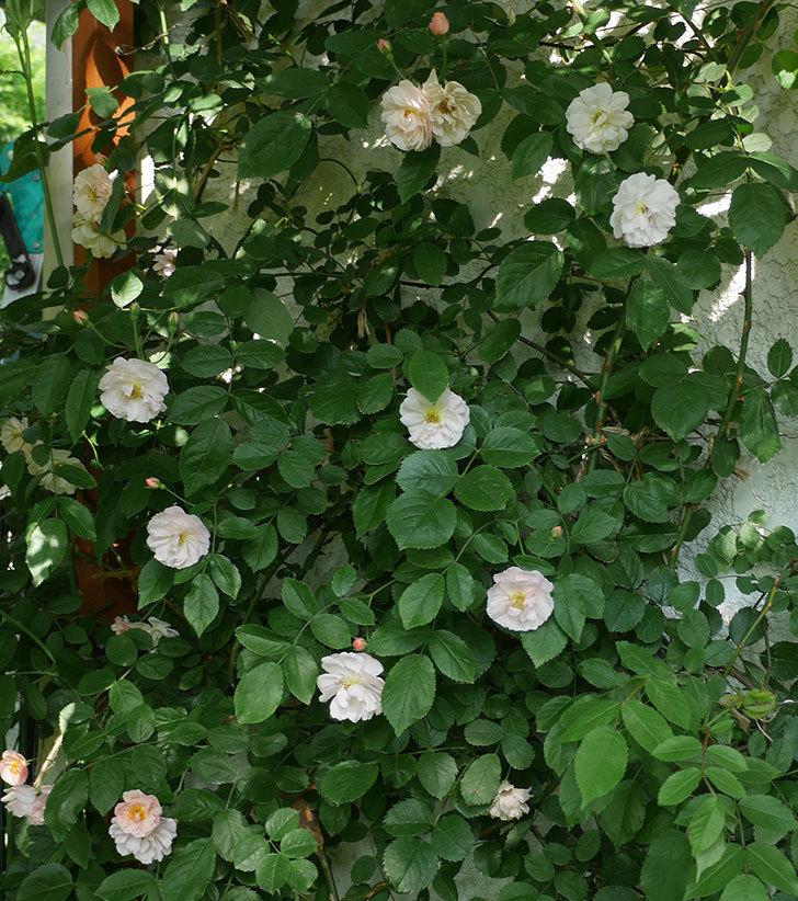 コーネリア(ツルバラ)の花がたくさん咲いた。2018年-6.jpg