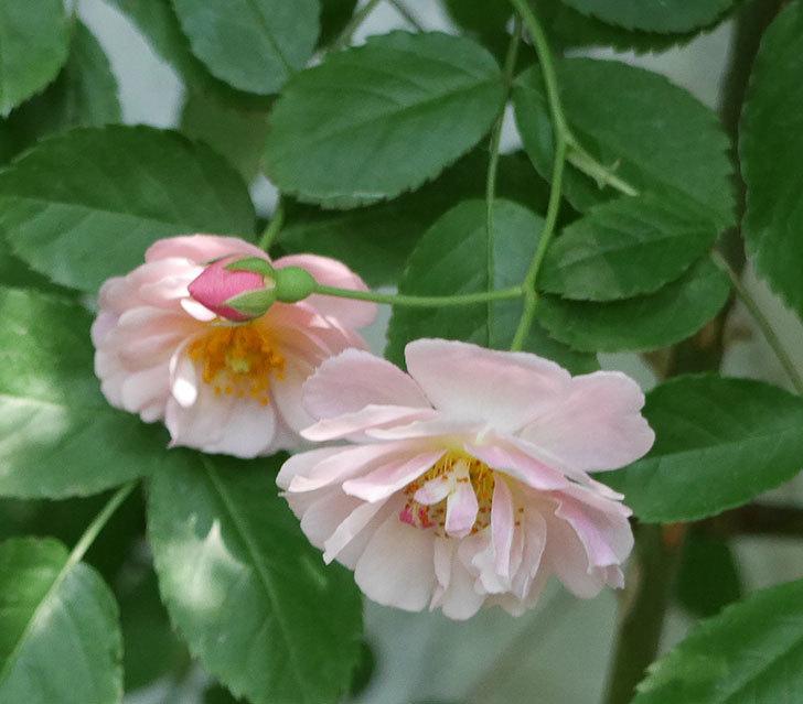 コーネリア(ツルバラ)の花がたくさん咲いた。2018年-7.jpg