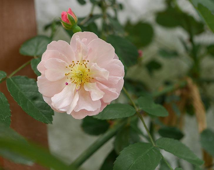 コーネリア(ツルバラ)の花が咲きだした。2019年-1.jpg