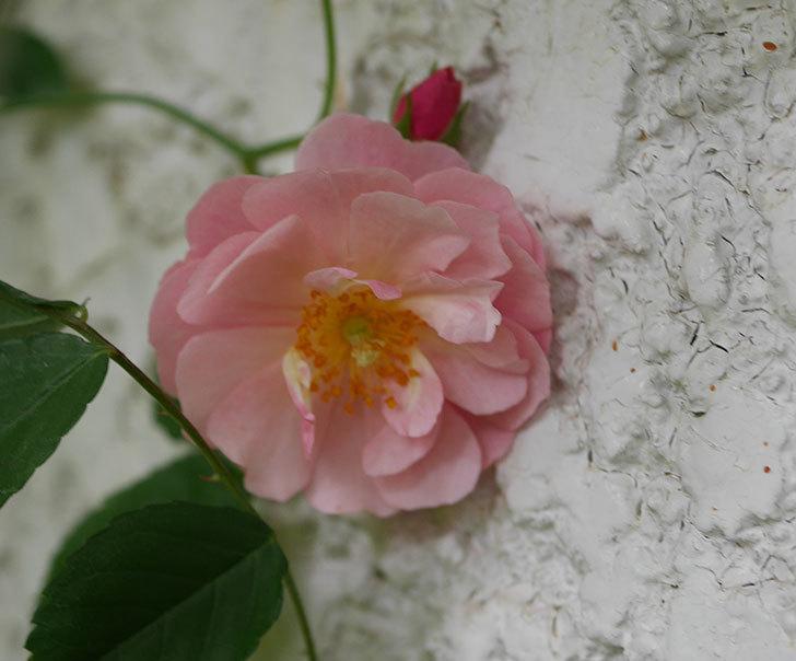 コーネリア(ツルバラ)の花が咲きだした。2019年-2.jpg