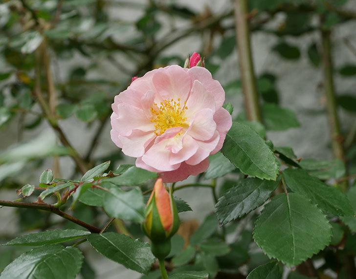 コーネリア(ツルバラ)の花が咲きだした。2019年-3.jpg