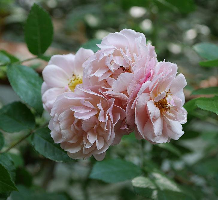 コーネリア(ツルバラ)の花が増えて来た。2019年-2.jpg
