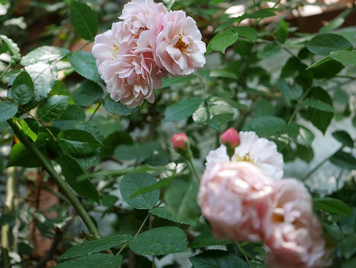 コーネリア(ツルバラ)の花が増えて来た。2019年-4.jpg