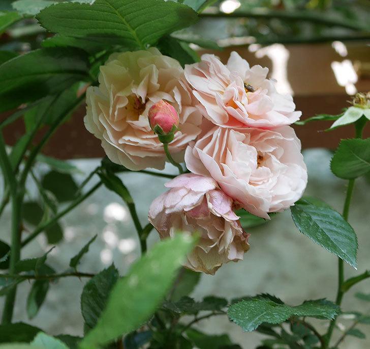 コーネリア(ツルバラ)の花が増えて来た。2019年-5.jpg