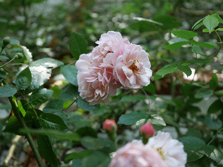 コーネリア(ツルバラ)の花が増えて来た。2019年-6.jpg