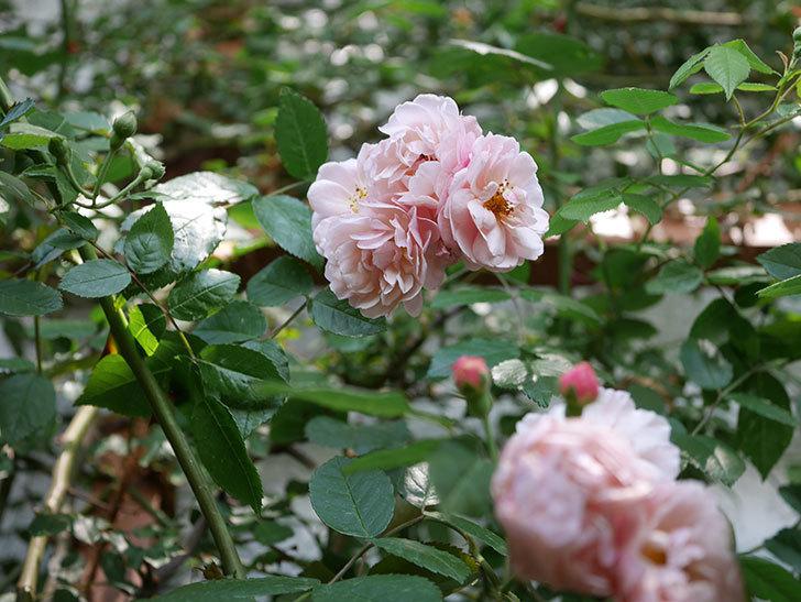 コーネリア(ツルバラ)の花が増えて来た。2019年-7.jpg
