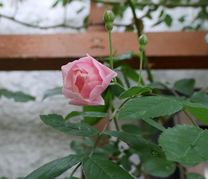 コーネリア(ツルバラ)の花が少し咲いた。2018年-1.jpg