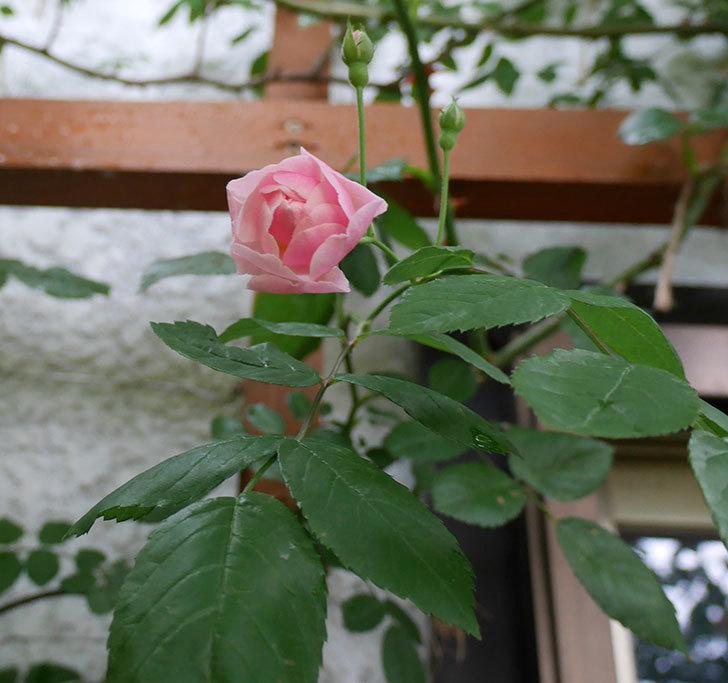 コーネリア(ツルバラ)の花が少し咲いた。2018年-3.jpg