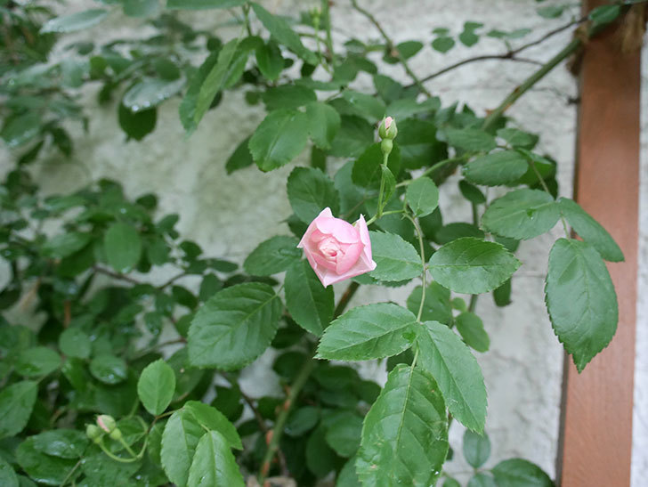 コーネリア(ツルバラ)の花が少し咲いた。2018年-4.jpg