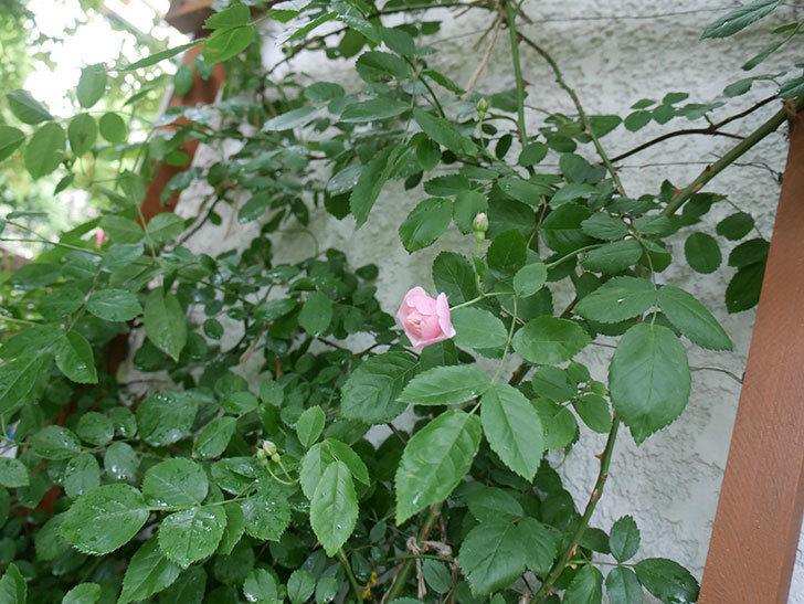 コーネリア(ツルバラ)の花が少し咲いた。2018年-6.jpg