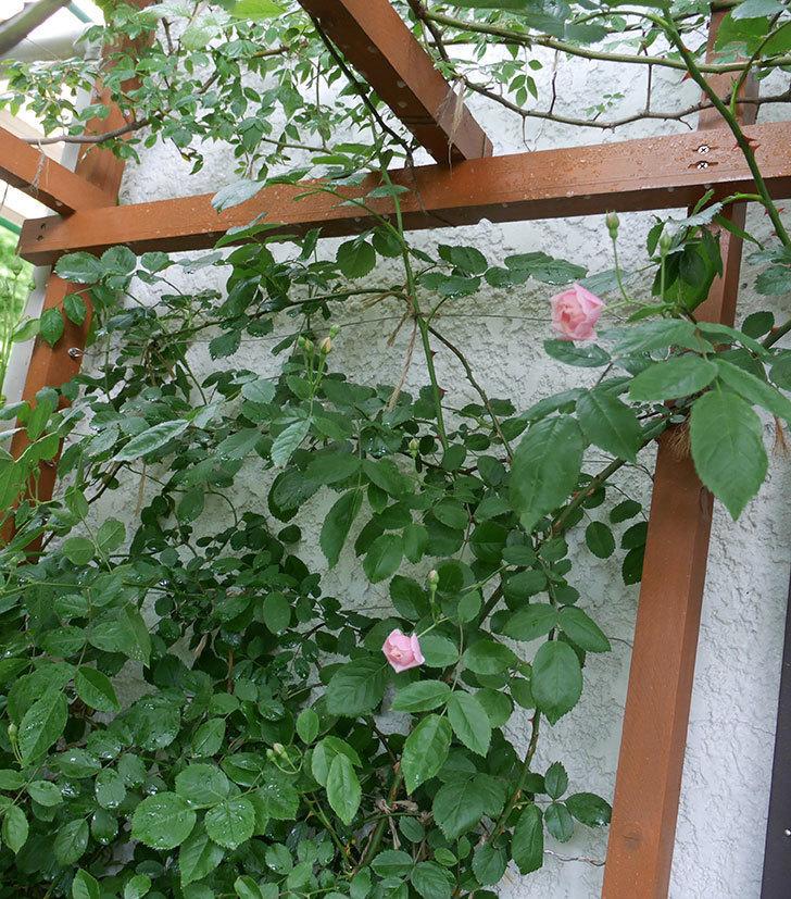 コーネリア(ツルバラ)の花が少し咲いた。2018年-8.jpg
