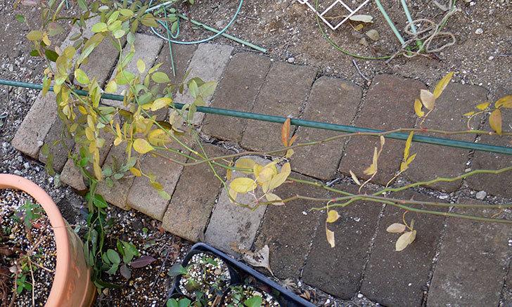 コーネリア(ツルバラ)の鉢植えを地植えして誘引した。2017年-10.jpg