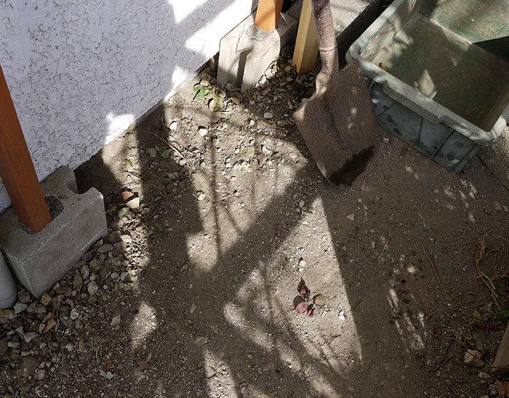 コーネリア(ツルバラ)の鉢植えを地植えして誘引した。2017年-2.jpg