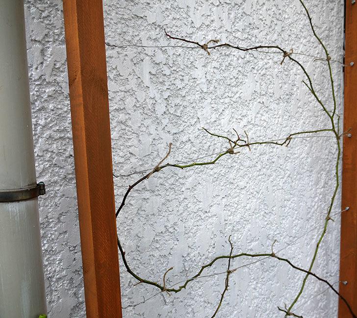 コーネリア(ツルバラ)の鉢植えを地植えして誘引した。2017年-22.jpg