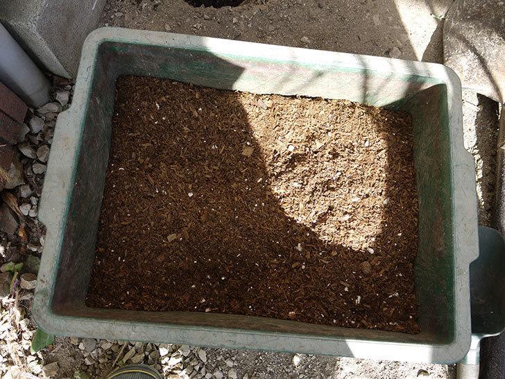 コーネリア(ツルバラ)の鉢植えを地植えして誘引した。2017年-6.jpg