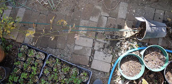コーネリア(ツルバラ)の鉢植えを地植えして誘引した。2017年-9.jpg