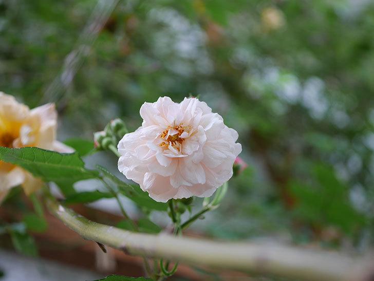 コーネリア(半ツルバラ)の花が1個咲いた。2020年-001.jpg