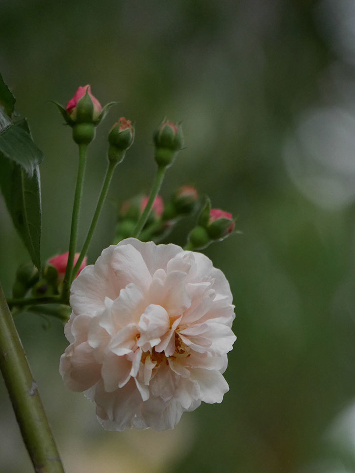 コーネリア(半ツルバラ)の花が1個咲いた。2020年-002.jpg