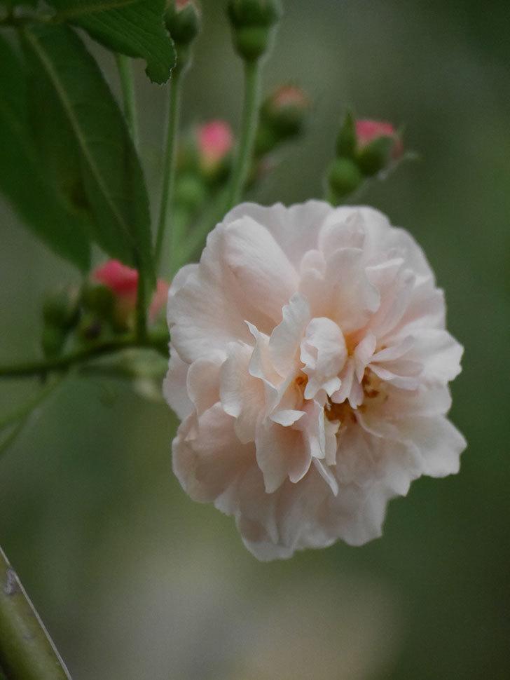 コーネリア(半ツルバラ)の花が1個咲いた。2020年-003.jpg