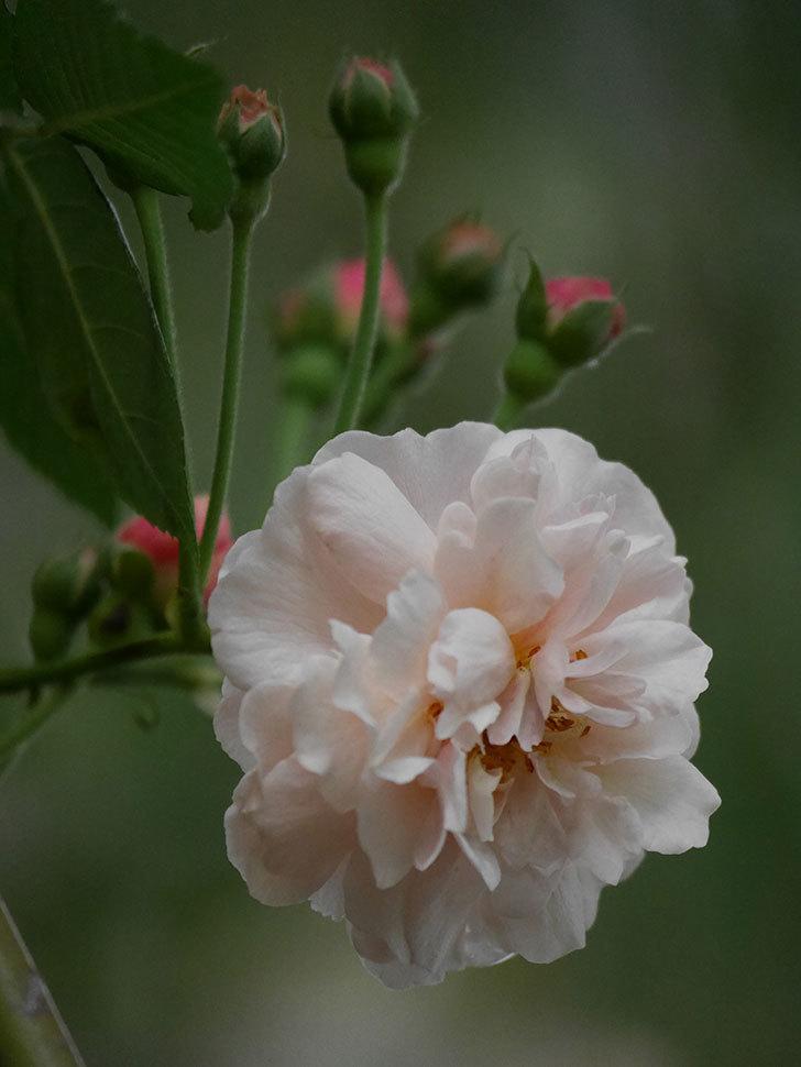 コーネリア(半ツルバラ)の花が1個咲いた。2020年-004.jpg