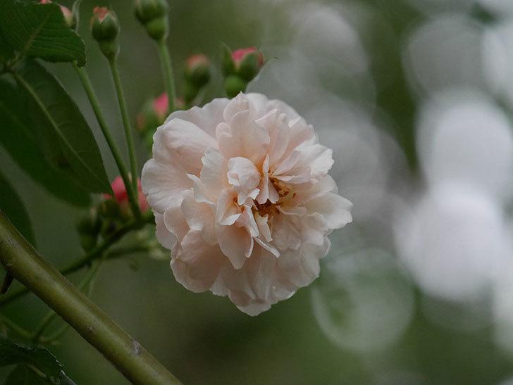 コーネリア(半ツルバラ)の花が1個咲いた。2020年-005.jpg