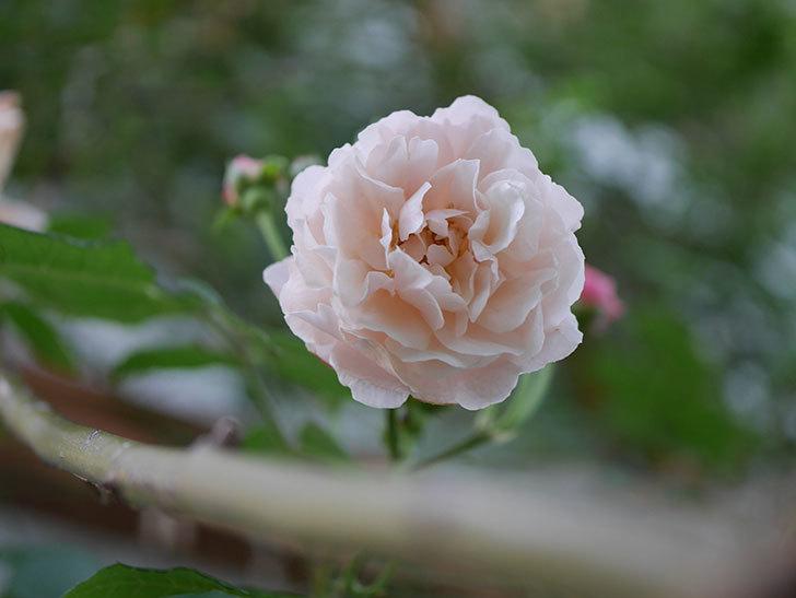 コーネリア(半ツルバラ)の花が1個咲いた。2020年-006.jpg