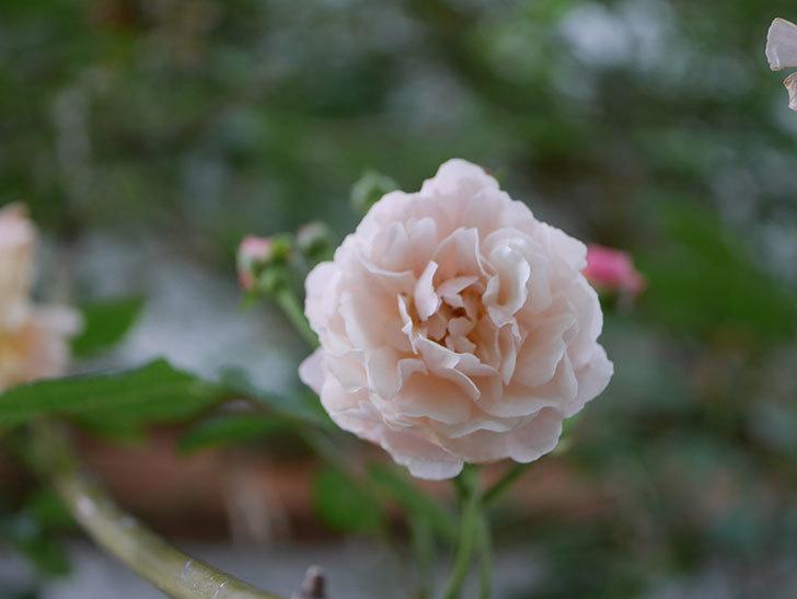 コーネリア(半ツルバラ)の花が1個咲いた。2020年-007.jpg