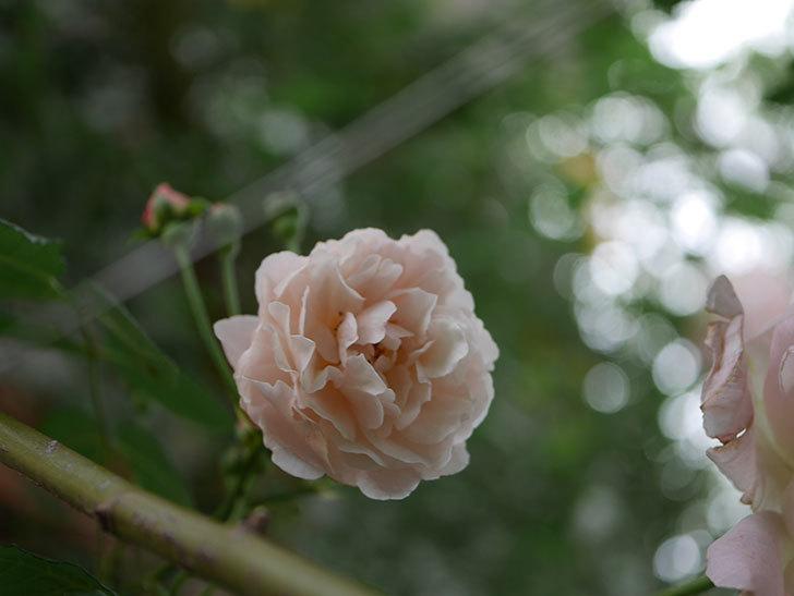 コーネリア(半ツルバラ)の花が1個咲いた。2020年-008.jpg