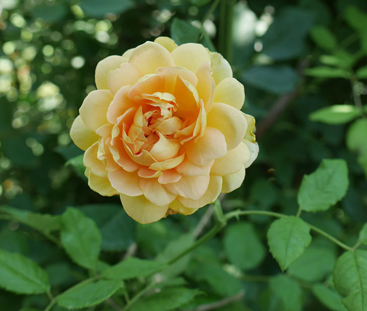 ゴールデン・セレブレーション(ツルバラ)の2番花が咲いた。2018年-1.jpg