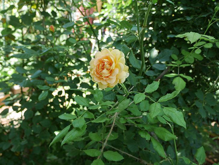 ゴールデン・セレブレーション(ツルバラ)の2番花が咲いた。2018年-2.jpg