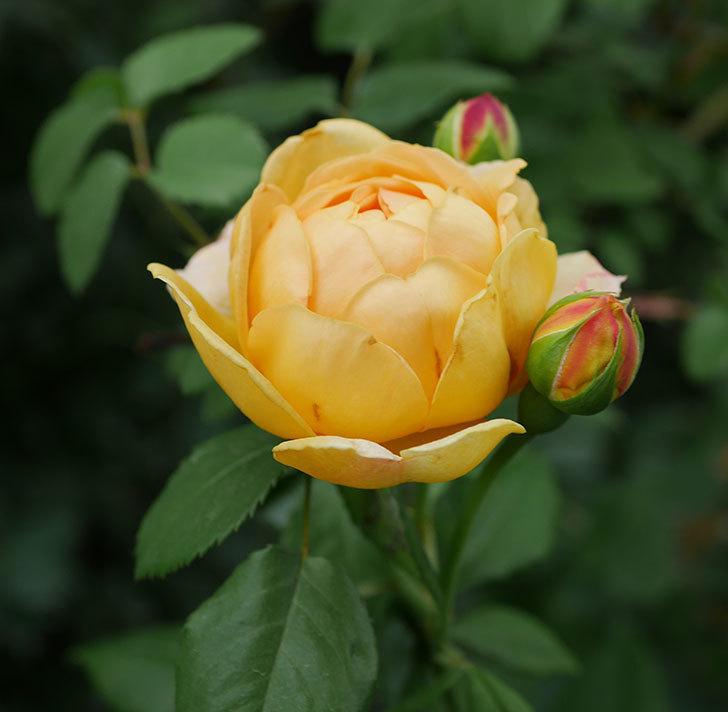 ゴールデン・セレブレーション(ツルバラ)の2番花が咲いた。2019年-1.jpg
