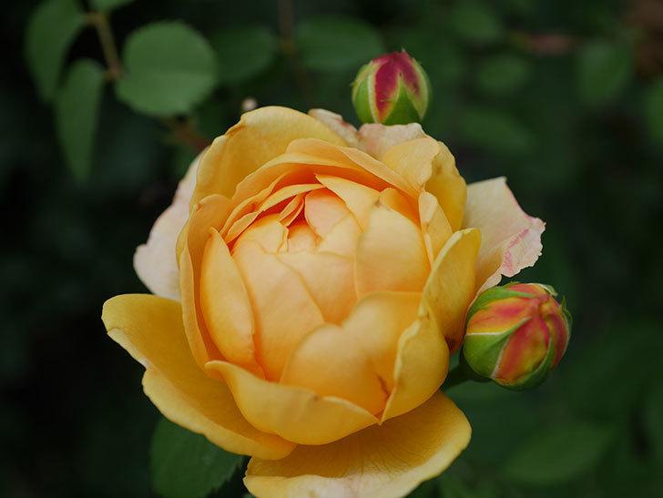 ゴールデン・セレブレーション(ツルバラ)の2番花が咲いた。2019年-2.jpg