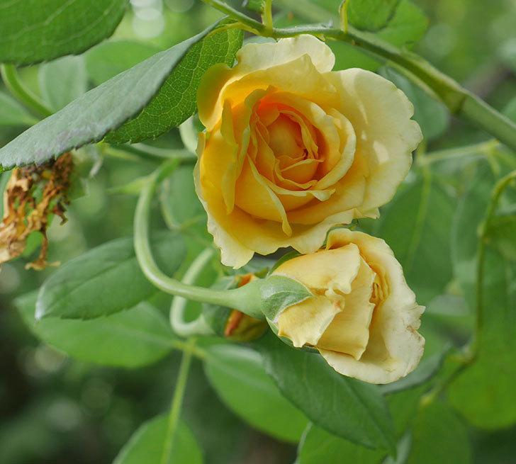 ゴールデン・セレブレーション(ツルバラ)の夏花が咲いた。2019年-1.jpg