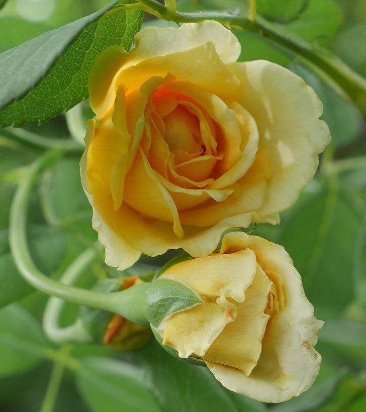 ゴールデン・セレブレーション(ツルバラ)の夏花が咲いた。2019年-2.jpg