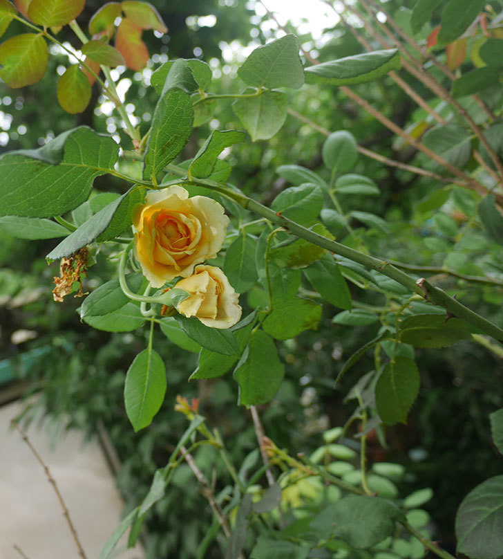 ゴールデン・セレブレーション(ツルバラ)の夏花が咲いた。2019年-4.jpg