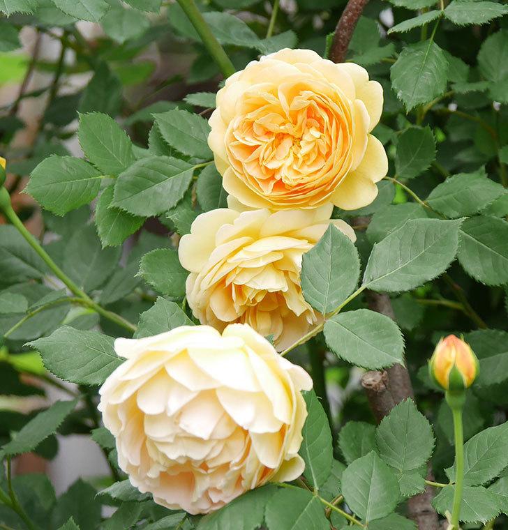 ゴールデン・セレブレーション(ツルバラ)の花がたくさん咲いた。2018年-1.jpg