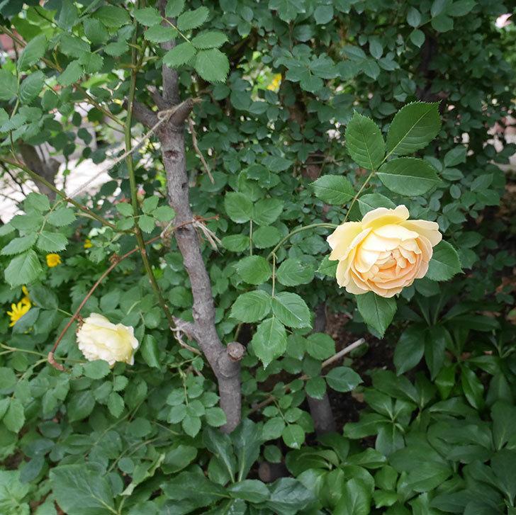 ゴールデン・セレブレーション(ツルバラ)の花がたくさん咲いた。2018年-10.jpg