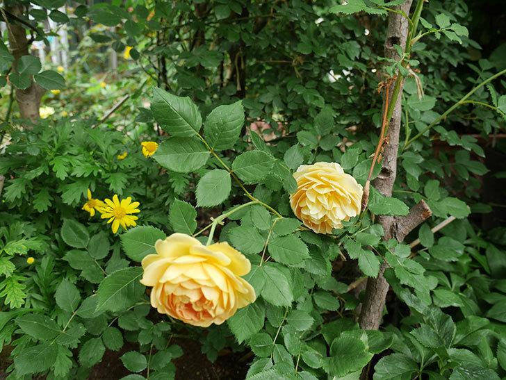 ゴールデン・セレブレーション(ツルバラ)の花がたくさん咲いた。2018年-12.jpg