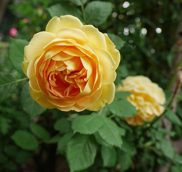 ゴールデン・セレブレーション(ツルバラ)の花がたくさん咲いた。2018年-13.jpg