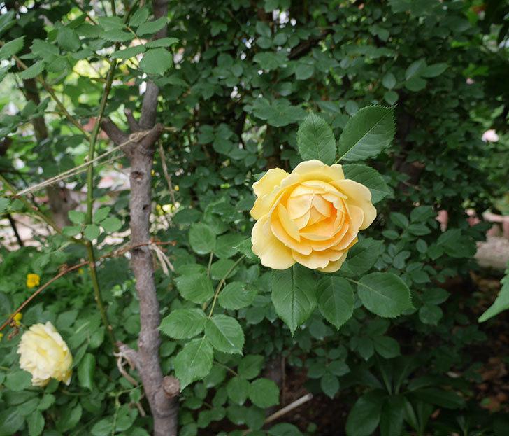 ゴールデン・セレブレーション(ツルバラ)の花がたくさん咲いた。2018年-14.jpg