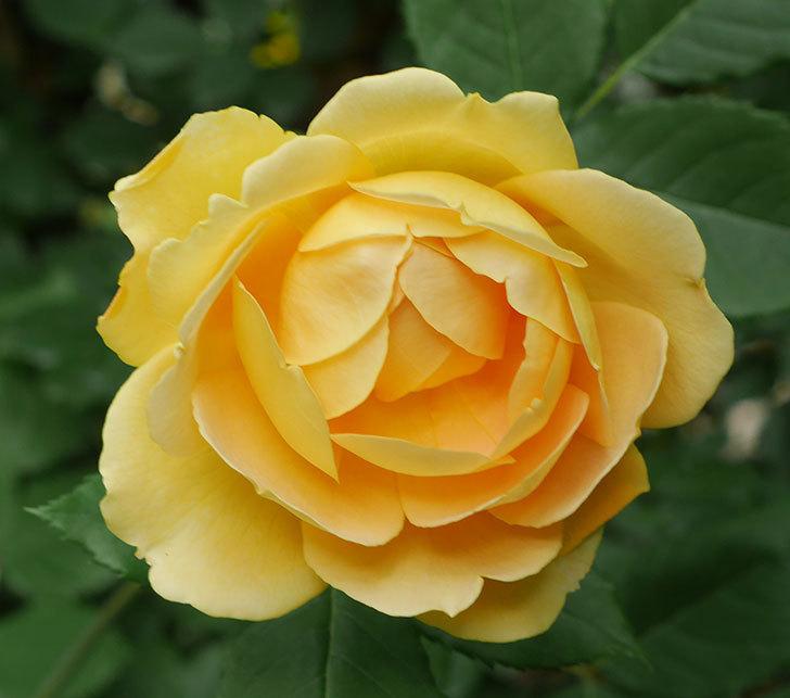 ゴールデン・セレブレーション(ツルバラ)の花がたくさん咲いた。2018年-15.jpg